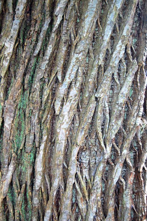 Tree Bark Felbrigg