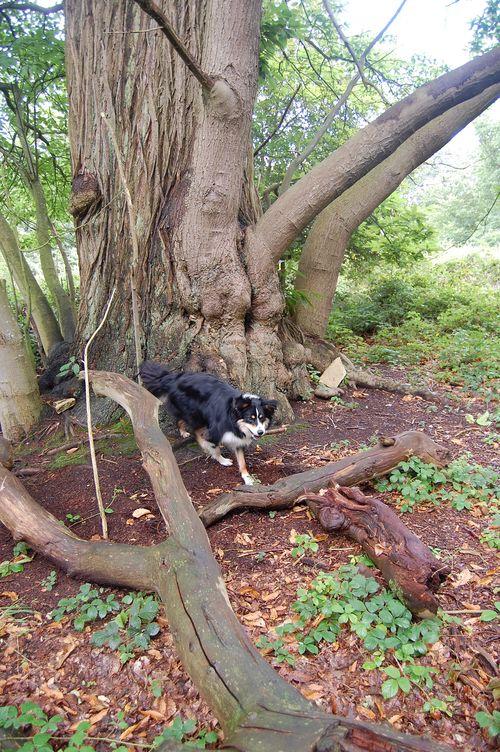 Alfie in Felbrigg Woods