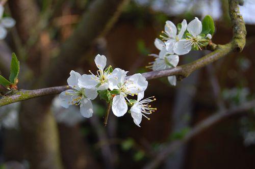Plum Blossom 110411