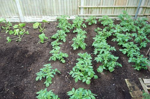 Spuds in veg plot 220511