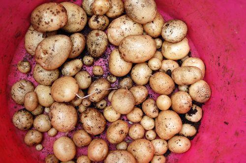 New potatoes 100711